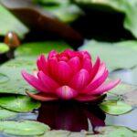 flowers, lotus, water lilies
